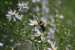 Bumblebee on Aster