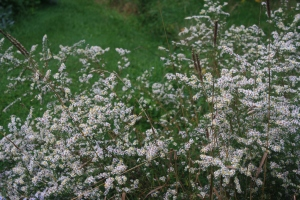 Wild Aster & Dried Grass