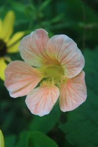 Peach Nasturtium