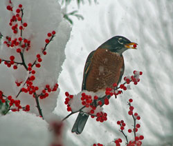 American Robin on Winterberry  ©Janet Allen