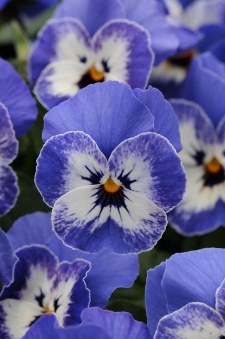 Viola cornuta Sorbet 'Delft Blue'