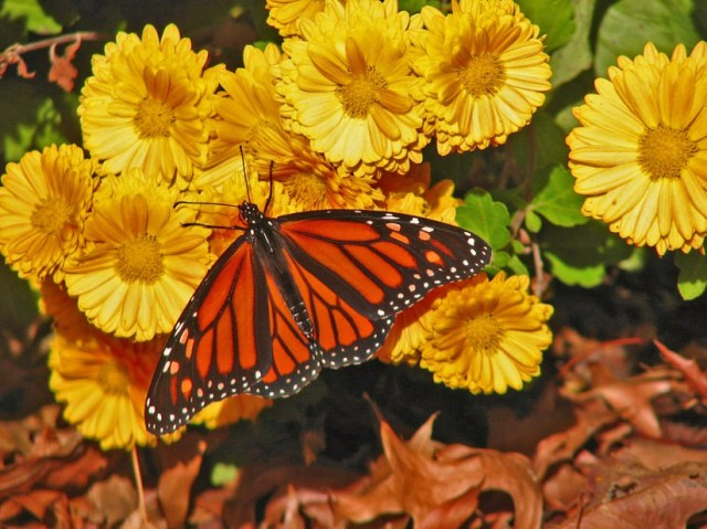 calendula-marigolds-2011-ocotber-22-042