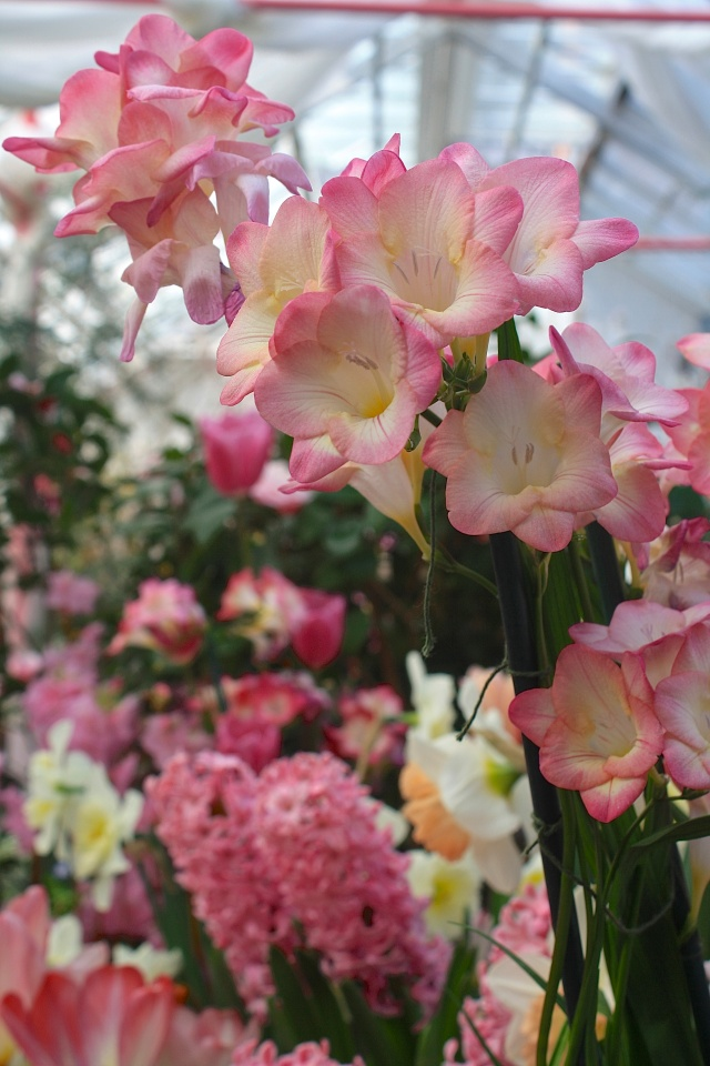Pink Freesia over Pink Hyacinths