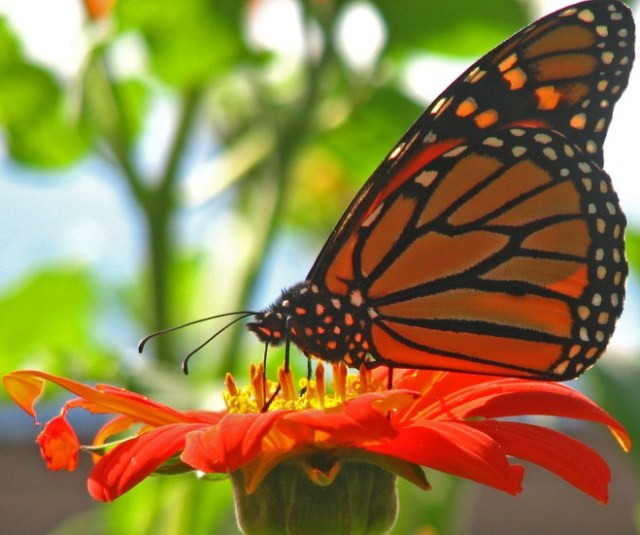 Adult Monarch on Tithonia Photo:http://palmraeurbanpotager.com
