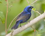 Indigo Bunting  (Rob Curtis/VIREO Nat'l Audubon Society)