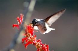 hummingbird186_sm