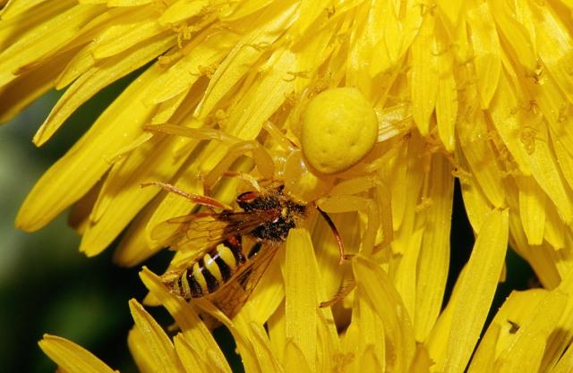 Goldenrod Crab Spider (Misumena vatia) - Wikipedia photo