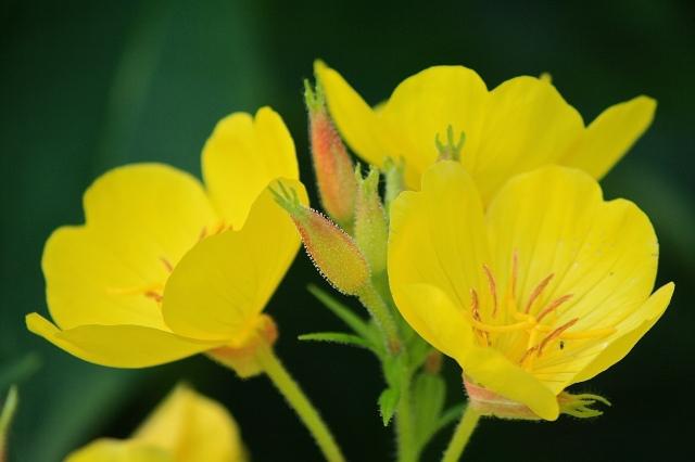 Sundrops (Oenothera tetragona)