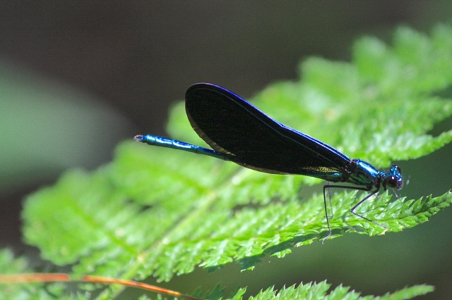 Ebony Jewelwing - Calopteryx maculata - Male