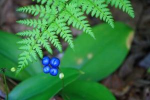 Bluebead (Clintonia borealis)