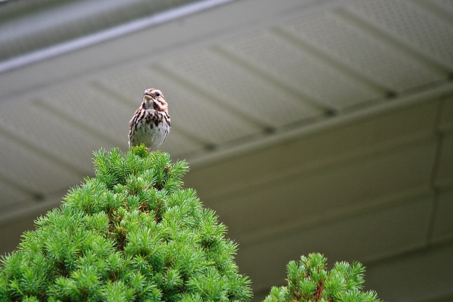 """Song Sparrow sings from """"his"""" Alberta spruce"""