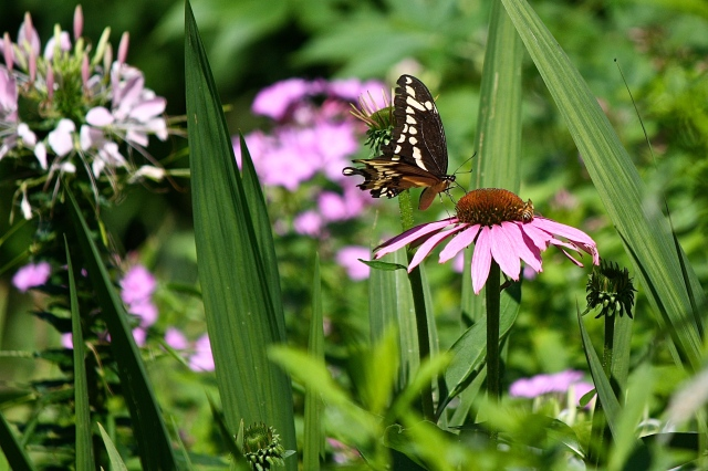 Giant Swallowtail (Papilio cresphontes) on Coneflower (Echinacea purpurea)