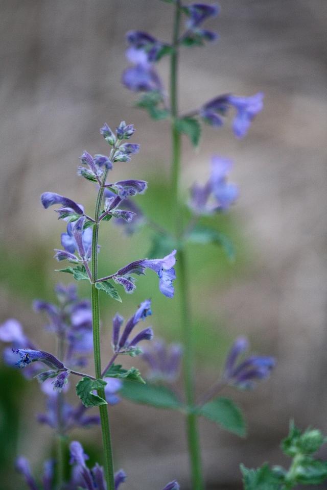 Catmint – Nepeta racemosa