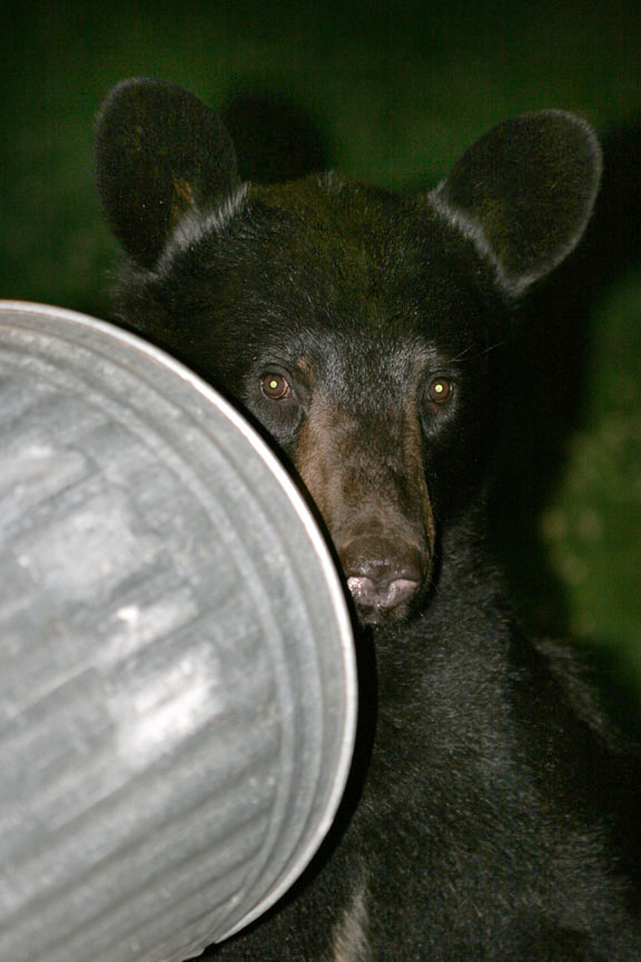 3-17-15 black bear-eating sunflower seeds  IMG_3607