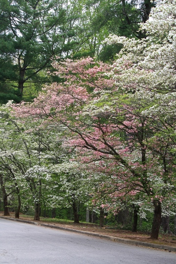 Dogwood trees (Cornus florida)