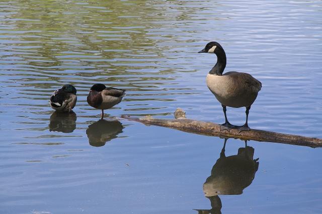 Bachelors: Sleeping mallard drakes and lone Canada goose