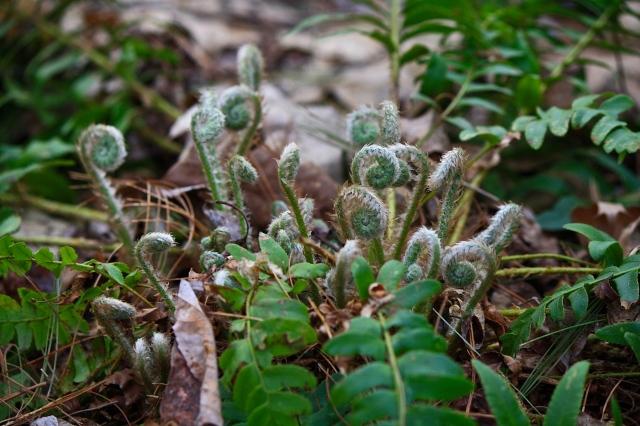 Christmas Fern (Polystichum acrostichoides)