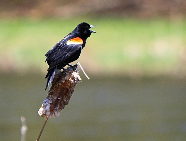 Red-wing Blackbird