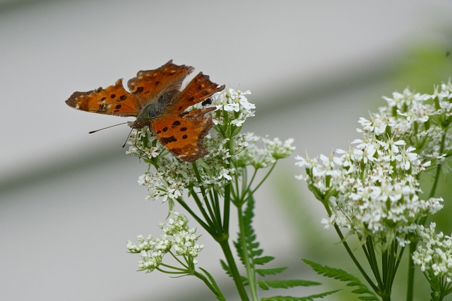Eastern Comma Polygonia comma