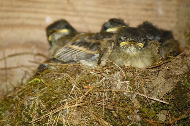 Eastern Phoebe (Sayornis phoebe) fledglings