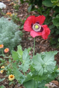 Lettuce Leaf Poppy (Papaver somniferum)