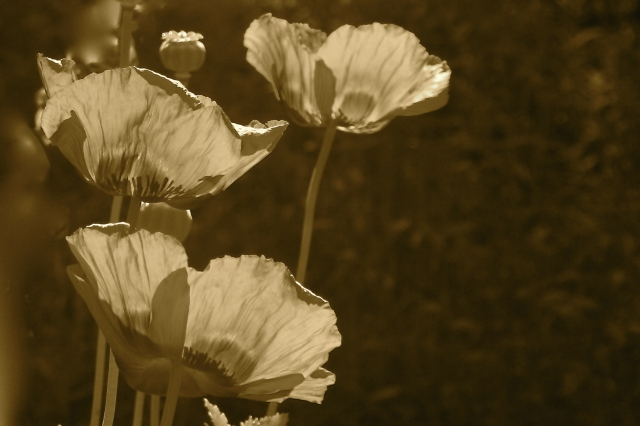 Sepia Poppies