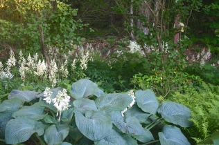 Hosta 'Bressingham Blue' with white Astilbe chinensis