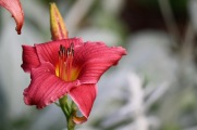 Hemerocallis unknown cultivar