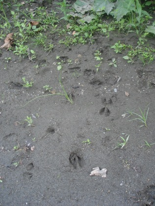 Fawn (left) and Doe (right) tracks