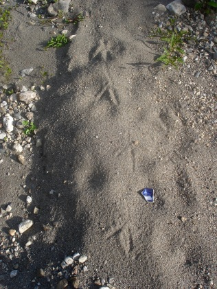 "Blue Heron tracks with 2"" shard"