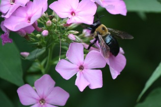 Carpenter Bee (Xylocopa virginica) on Phlox (P. paniculata)