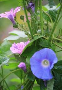 Ivy-leaved Morning Glory (Ipomoea hederacea)