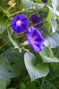 Morning glory (Ipomoea purpurea 'Grandpa Ott')