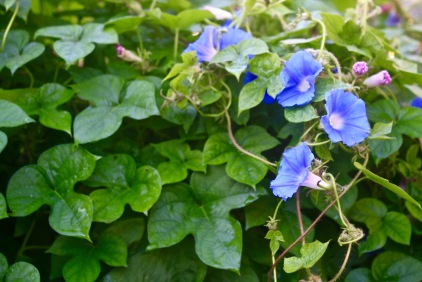 Blue Morning Glory (Ipomoea hederacea)