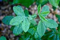 Carolina Lupine (Thermopsis caroliniana)
