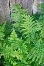 Woodfern (Dryopteris)