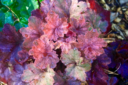 Coral Bells (Heuchera 'Cherry Cola'