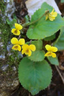 Yellow Violet (Viola pubescens)