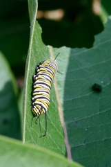 Last caterpillar stage
