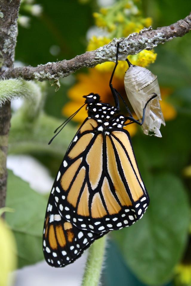 Male monarch 9/5/17