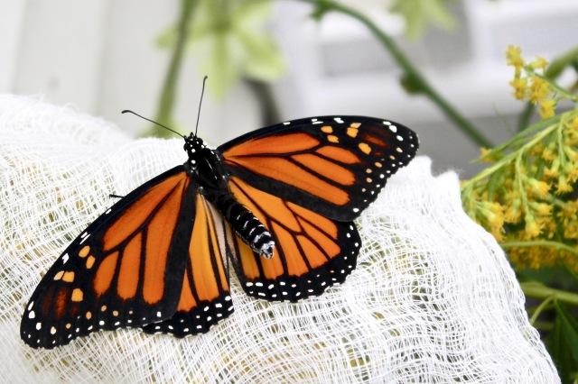 Female Monarch butterfly 9/6/17