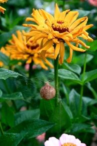 Garden Spider egg sac