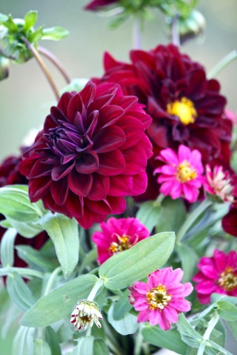 Dahlia 'Voodoo' and Zinnia 'Cherry Profusion'