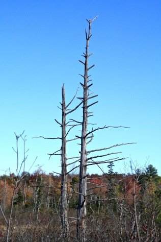 Tree skeleton-Hawley Bog