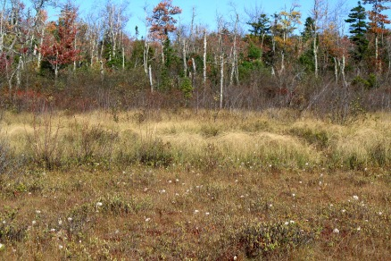 Hawley Bog with Tussock Sedge