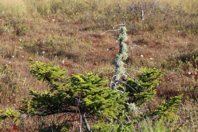 Stunted Spruce & Lichen