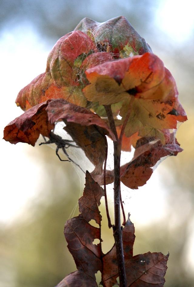 Spider in leafy nest