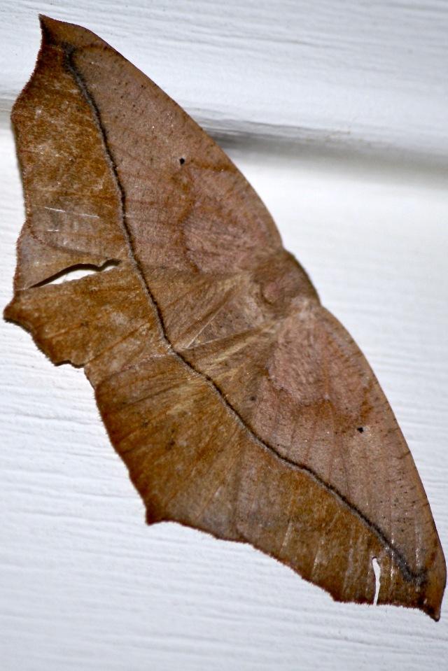 Prochoerodes lineola - Large Maple Spanworm