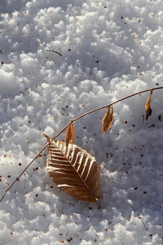 Beech Leaf in Snow