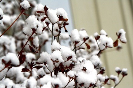Cottony snow on azalea